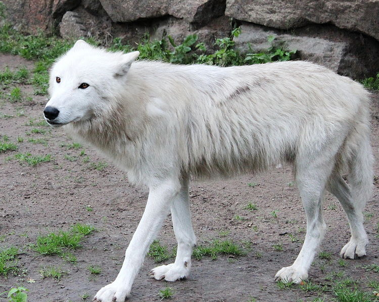 Arctic Wolf Facts Information About The White Wolf