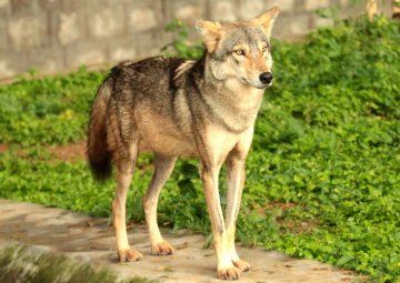 Indian wolf in Mysore zoo.jpg