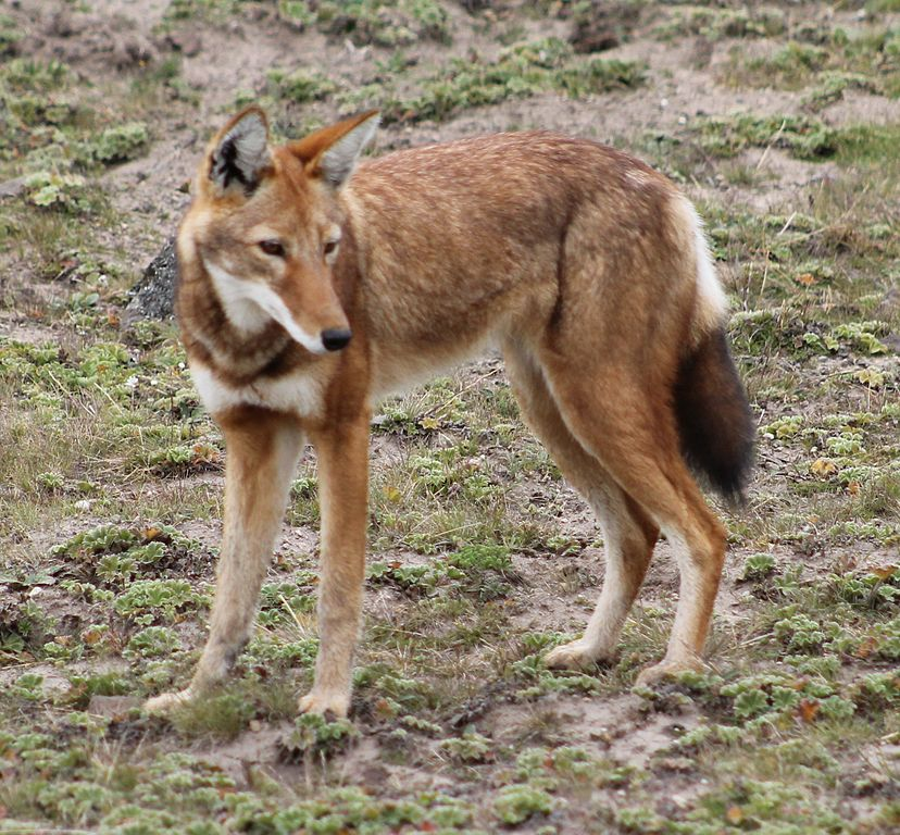Ethiopian Wolf Facts - Information about the Ethiopian Wolf