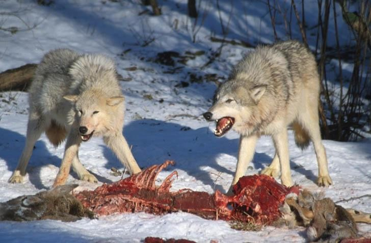 What Does A Red Wolf Eat For Food