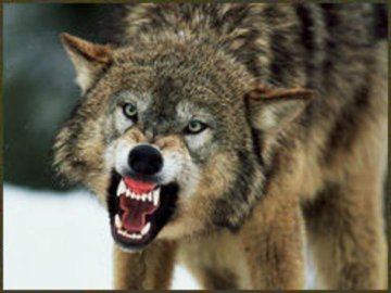 a wolf with an open mouth.jpg
