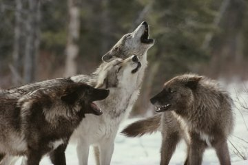 wolf pack howling.jpg