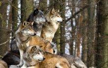 pack-of-wolves.jpg