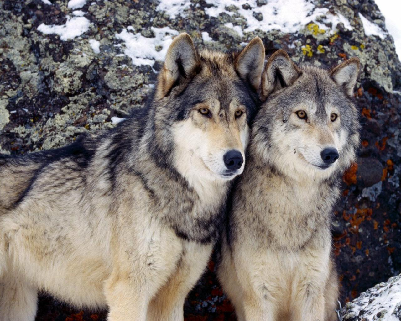 Two Grey Wolves Posing For Camera