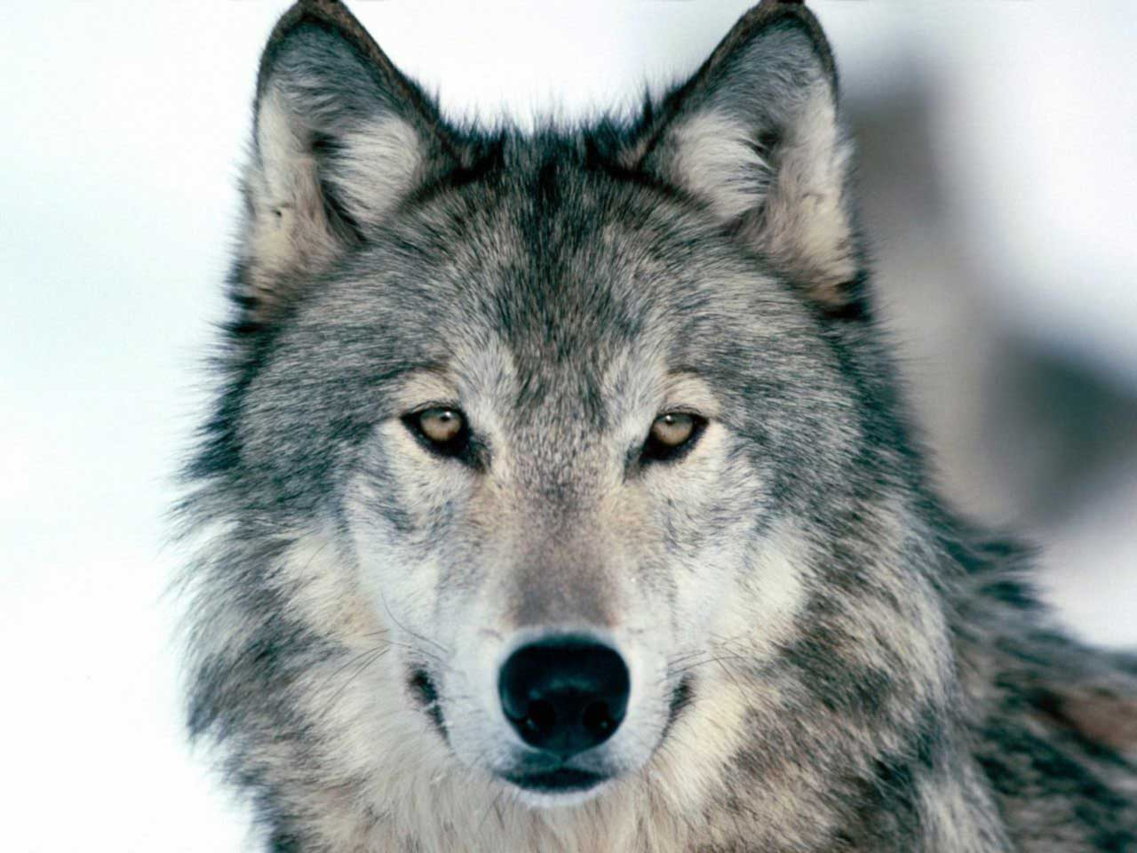 Wolf Facts  Interesting Information About Wolves
