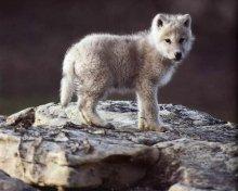 wolf-pup-on-a-rock.jpg